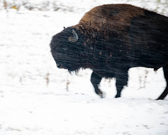 Bison Trudge (droy0521) Tags: rockymountainarsenal events wildlife animal wind mammal seasons colorado outdoors fall buffalo bison places snow denver unitedstates us