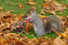 grey squirrel  with shopping trolley cart  in park autumnleafs on grass . (17) (Simon Dell Photography) Tags: sheffield botanical gardens city park 2017 simon dell photography pan statue wood spirit god woods grey squirrel cute awesome funny countryfile springwatch autumn fall leafs uk england october weatjher seasonal with shopping cart trolley micro toy model coke bottle coca cola knuts conkers photo pic