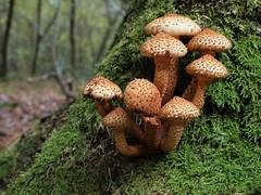 Pholiota Squarrosa - 35mm macro (Visual Stripes) Tags: fungus fungi mushrooms nature forest autumn olympuse620 35mmmacro mzuiko