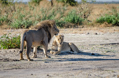 Löwen / Lions (brainstorm1984) Tags: big5 marshpride safari löwen savuti savutesafarilodge savutigamereserve chobenationalpark desertdeltasafaris marshrudel lion pantheraleo botswana elangeniafricanadventures savutegamereserve wildlife löwin savute wildfelinephotography lions mähne lioness savutichannel mane löwe savutimarsh bigfive northwestdistrict botsuana bw