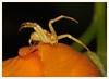 Crab Spider (gauchocat) Tags: pimacountyarizona tucsonmountains