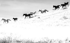 Running Wild horses (Jami Bollschweiler Photography) Tags: running wild horse hilltop stallions west desert wildlife photography utah great basin onaqui herd