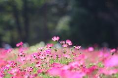 cosmos (* Yumi *) Tags: cosmos flower 昭和記念公園 コスモス