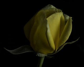 Shapes And Shadows In A Yellow Rosebud