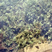 Chara? vulgaris. Stone wort. Duffryn. Opaque calcified shail. 1965