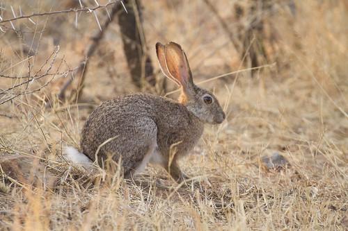 Scrub Hare ,Kolhaas, Lepus saxatilis,  Botsalano, _9425