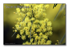 Vallon du stangalard 2017 -  Mimosa d'été (porte-plume) Tags: stangalard stangalar brest
