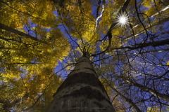 Mile high canopy (PhotoArt Images (away)) Tags: autumn fall trees photoartimages nikond810 nikon1424f28 aspens usa wyoming grandteton