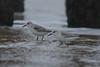 Sanderling (Janis Sieberichs) Tags: dishoek strand