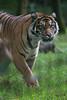 aux aguêts (danse2f) Tags: tigreblanc 2017 nikon septembre zoodecerza cerza 300mmf4pfafsvr zoo tigredesumatra photoaccess d500 albumdédié