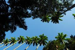 parque lage (meeeeeeeeeel) Tags: lookingup céuazul azul bluesky verde blue weather green brazil brasil rj errejota palmeiras palmtrees nikon parquelage riodejaneiro