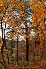 leaves of gold (l i v e l t r a) Tags: fx 15mm nikkor sunshine leaves natural light lighting evening golden forest woodlands minnesota autumn fall october nature warm still f10 lewiston gold