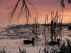Prosna River 4: Mallards. Kalisz, Poland (kachigarasu PL (busy)) Tags: 水に映る 反映 reflection wielkopolska ポーランド カリシュ ヴィエルコポルスカ evening 風景 木 trees landscape tree kalisz prosna river 川 プロスナ川 prosnavalley dolinarzekiprosny poland birds bird duck ducks 鳥 夕暮れ 日没 sunset reeds reed 葦 夕焼け シルエット silhouette 鴨 dusk twilight polska panasonicdmcfz15 野鳥 greaterpoland takenbywr kaczkakrzyżówka マガモ mallard anasplatyrhynchos kaczka waves wave glow