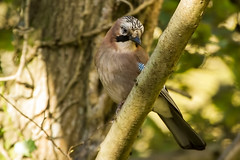 JAY (_jypictures) Tags: animalphotography animals animal wildlife wildlifephotography wiltshire nature naturephotography birdphotography bird birds birdwatching birding birdingphotography birders photography pictures leightonmoss jay