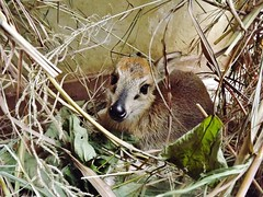 "Duiker • <a style=""font-size:0.8em;"" href=""http://www.flickr.com/photos/152934089@N02/37356533780/"" target=""_blank"">View on Flickr</a>"