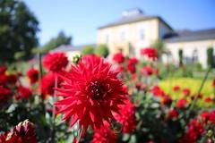 IMG_9706 (AndyMc87) Tags: palmengarten frankfurt hessen bokeh flower blossom rheinmain clear blue sky red canon eos 6d 2470 l