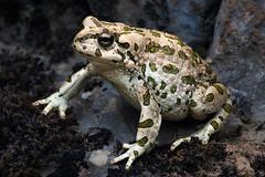 Bufotes viridis (Arddu) Tags: anura amphibian toad green painted turkmenistan bufotesviridis bufo hojapil koytendag
