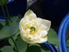Nelumbo nucifera 'Huang Mu Dan' Lotus Klong15 007 (Klong15 Waterlily) Tags: huangmudan sacredlotus flower lotusflower thailotus nelumbo nucifera nelumbonucifera yellowlotus