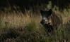 Wildboar posing (jopieborst) Tags: wildzwijn wildboar zwijn wildlife natuur canon400mm56 canon70d veluwe