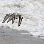 Sanderlings thumbnail