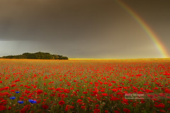 The Rainbow (Nick Brundle - Photography) Tags: agriculture backgrounds denmark dusk field flower jutland landscape meadow nature petal plant poppy red scandinavia scenics sky summer sunlight sunset tranquility vitality wideangle wildflower nikond750 nikon1424mmf28 gettyimages d750