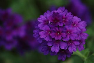 Lovely Flower, Cantigny Park. 53 (EOS)