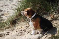 Beach-Beagle (LuckyMeyer) Tags: beagle hund haustier jagdhund dog black white brown