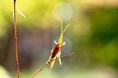 Hide- and- seek (keiko*has) Tags: 7dwf sunday fauna grasshopper オンブバッタ 秋
