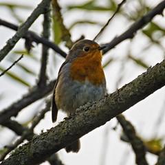 The Gardener's Friend (MrBlueSky*) Tags: robin robinredreast bird animal nature outdoor tree royalbotanicgardens kewgardens london aficionados pentax pentaxart pentaxlife pentaxk1 pentaxawards pentaxflickraward