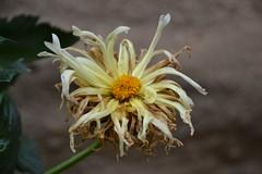 Dahlia (esta_ahi) Tags: huesca artasona somontano aragón spain españa испания flor flores flora cultivadas dahlia compositae asteraceae