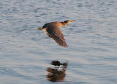 Green Heron (_quintin_) Tags: green heron flying