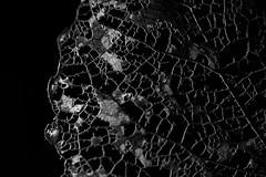 Leaf. (Dikke Biggie.) Tags: themesidelit sidelit opzijbelicht lichtbronaandezijkant macromonday macromondays mm hmm macro closeup detail dof depthoffield scherptediepte canon canoneos450d 100mm f28 blackandwhite bw black white zwartwit zw zwart wit monochrome monochroom leaf blad blaadje leafskeleton bladskelet abstract abstrakt autumn autumnfeeling herfst herfstgevoel canonnl dgawc 52in2017 21dark dark donker