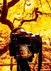 Under that maple tree.... (Dan Panaitescu (light catcher)) Tags: portlandjapanesegardens japanesemapletree hdr pentax samsung7s portlandoregon