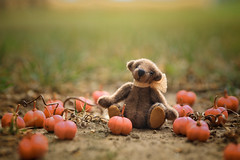 in the pumpkin patch... (s@ssyl@ssy) Tags: dontknowwhattheyare looklikepumpkins bush outfront theyreactuallypink orangeinside tuck teddy pumpkinpatch mini tiny miniature