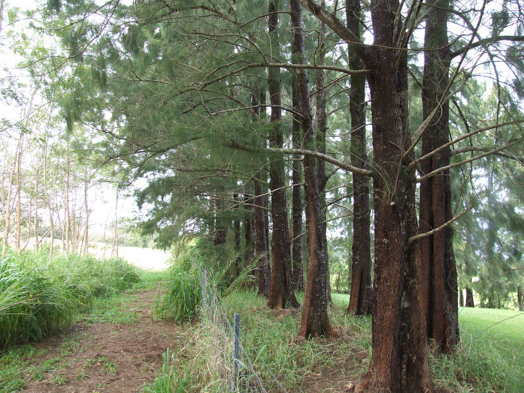 casuarina tree by toru dutt essay Our casuarina tree is a poem by toru dutt, an indian poet the poem gives an objective description of the tree and the charm associated with poet's childhood.