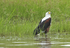 "Fish eagle • <a style=""font-size:0.8em;"" href=""http://www.flickr.com/photos/152934089@N02/37614462531/"" target=""_blank"">View on Flickr</a>"