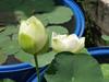 Nelumbo nucifera 'Huang Mu Dan' Lotus Klong15 006 (Klong15 Waterlily) Tags: huangmudan sacredlotus flower lotusflower thailotus nelumbo nucifera nelumbonucifera yellowlotus