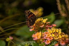 Painted Lady (d.cobb56) Tags: butterfly september garden nature paintedlady towerhillbotanical newengland insect bokek