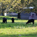 Black sheeps :-) thumbnail