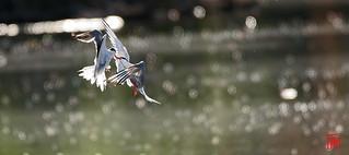 La sterne pierregarin est un oiseau bruyant au vol souple et élégant.