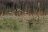 R17_2179 (ronald groenendijk) Tags: cronaldgroenendijk 2017 asioflammeus rgflickrrg animal bird birds birdsofprey groenendijk nature natuur natuurfotografie outdoor owl ronaldgroenendijk roofvogels shortearedowl uil velduil vogel vogels wildlife