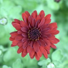 Chrysanthemum (MJ Harbey) Tags: flower garden chrysanthemum asteraceae plant nikon d3300 nikond3300
