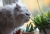 Sniffer (akk_rus) Tags: marcello persian cat cats pet pets chat chats animal animals nature feline gato кот коты кошка chinchilla 200500mmf56gvr nikkor 200500mm nikon d800 nikond800