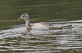 G.C.Grebe....Youngster....Powys....When these are really small, we call these