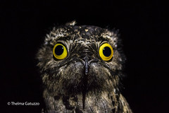 Common Potoo  (Explored) (Thelma Gatuzzo) Tags: avesbrasileiras pássaros aves silvestre pajaro nature birdwatching thelmagatuzzo© 2016 stabarbaradooeste natureza sãopaulo wild vogel flora americana oiseau brejãotristepia animaissilvestres oiseaux brejão fauna thelmagatuzzophotography© bird birdsofbrazil commonpotoo nyctibiusgriseus mãedalua nightbird night outdoor wildlife