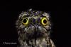Common Potoo  (Explored) (Thelma Gatuzzo) Tags: avesbrasileiras pássaros aves silvestre pajaro nature birdwatching thelmagatuzzo© 2016 stabarbaradooeste natureza sãopaulo wild vogel flora americana oiseau brejãotristepia animaissilvestres oiseaux brejão fauna thelmagatuzzophotography© bird birdsofbrazil commonpotoo nyctibiusgriseus mãedalua nightbird night outdoor wildlife