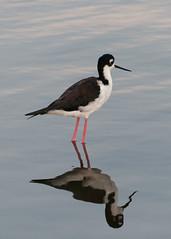 Black-Necked Stilt (_quintin_) Tags: stilt shoreline lake mountainview blacknecked animal reflection