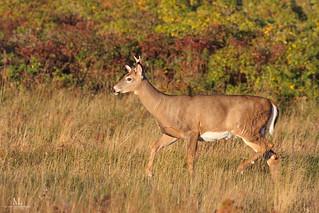 Cerf de Virginie - White-tailed deer - Odocoileus virginianus