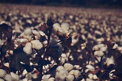 The fabric of our lives (New Expressions by the Old Christine) Tags: cotton cottonplant fieldofcotton white cottonballs nature field agriculture americanagriculture kansas ks farming farmlife