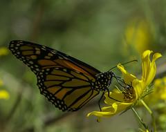 MonarchButterfly_SAF4350 (sara97) Tags: danausplexippus butterfly endangered insect missouri monarch monarchbutterfly nature outdoors photobysaraannefinke pollinator saintlouis towergrovepark